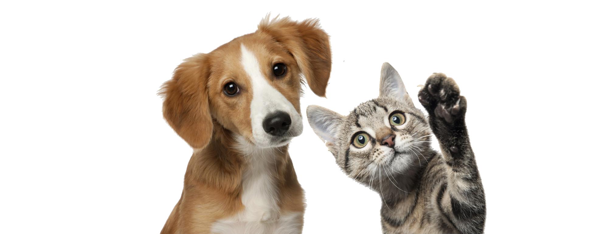 Beagle y gato
