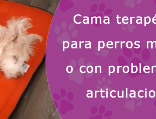 Camas terapéuticas para perros mayores