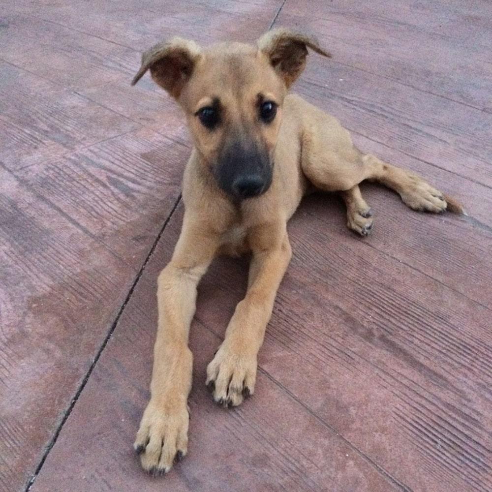 Cachorro de galgo español