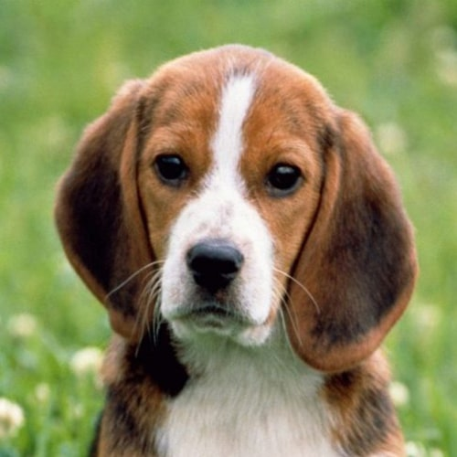 Raza canina Beagle