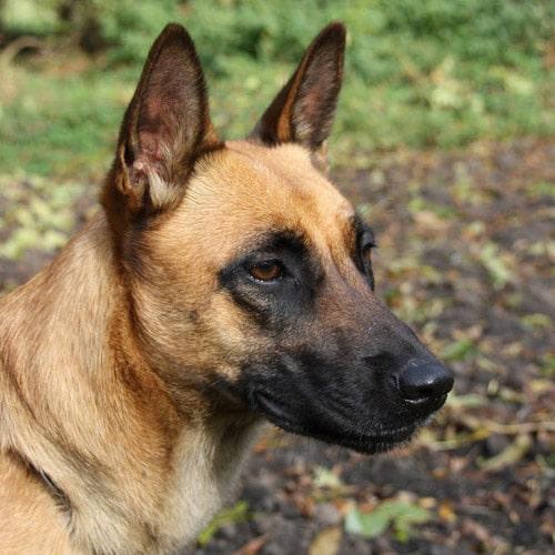 Raza canina Pastor Belga Malinois