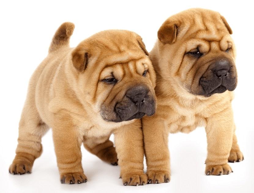 Shar Pei Cachorros