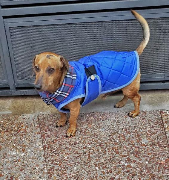 abrigo-azul-perro