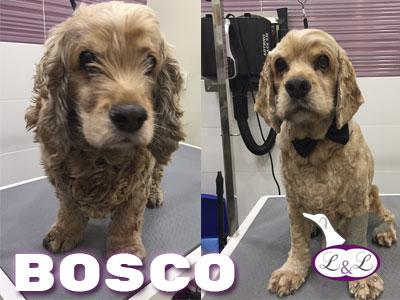 cocker_bosco
