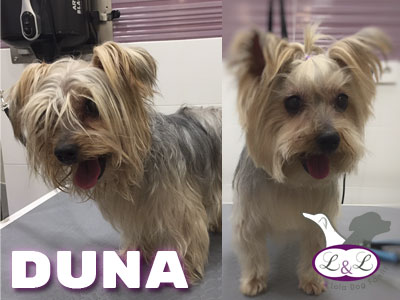 duna_yorkshire_peluqueria_lucasylola