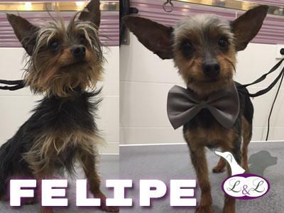 felipe-perro-yorkshire-peluqueria-lucasylola
