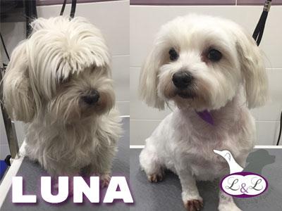 peluqueria_perros/luna-perro-bichon-maltes-lucasylola-peluqueria