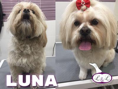 peluqueria_perros/luna-perro-lhasa-apso-peluqierua-lucasylola