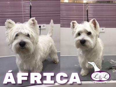 perro_con_pelo_cortado_africa