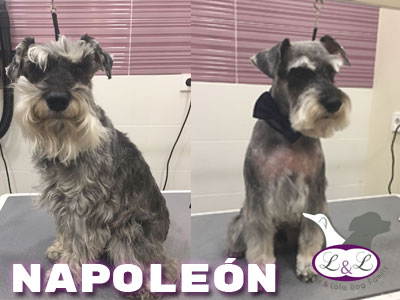 peluqueria_perros/shnauzer_napoleon