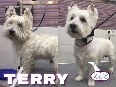 peluqueria_perros/terry-perro-westy-peluqueria-lucasylola