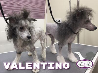 peluqueria_perros/valentino-perro-crestado-chino-peluqqueria-lucasylola