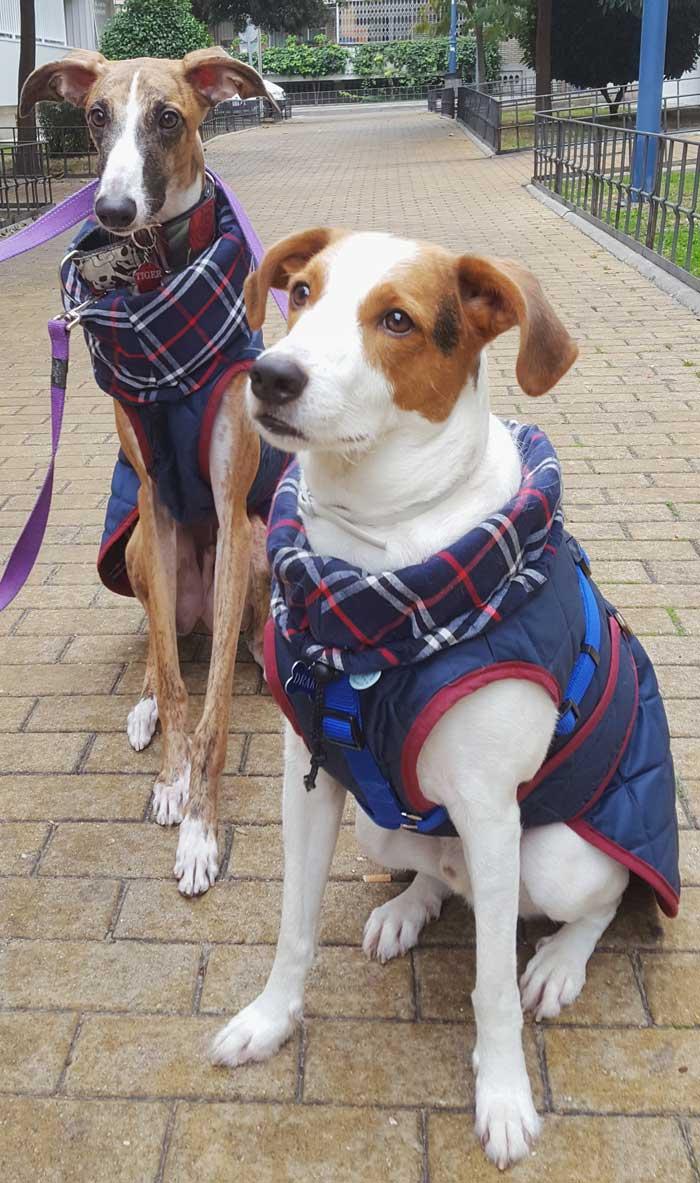 abrigo azul perro