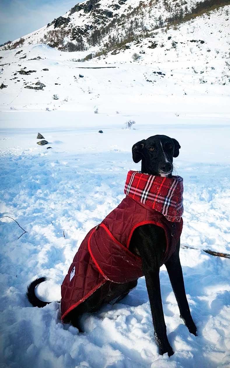 abrigo rojo para galgo