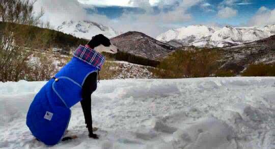 abrigo turquesa para galgo