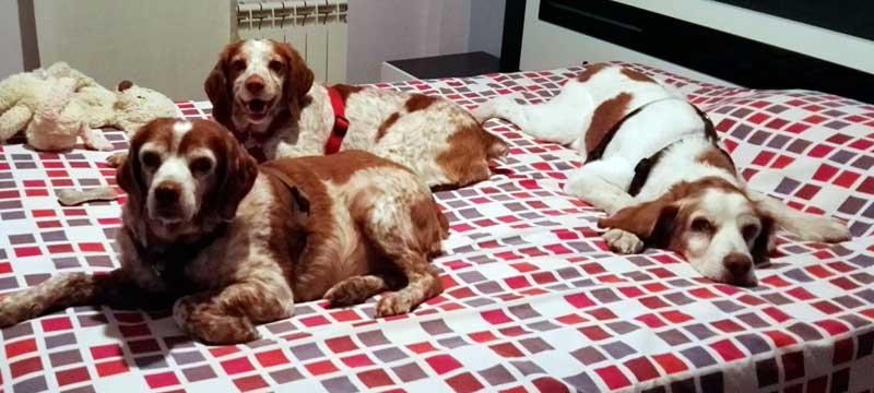 arnes-rojo-perro