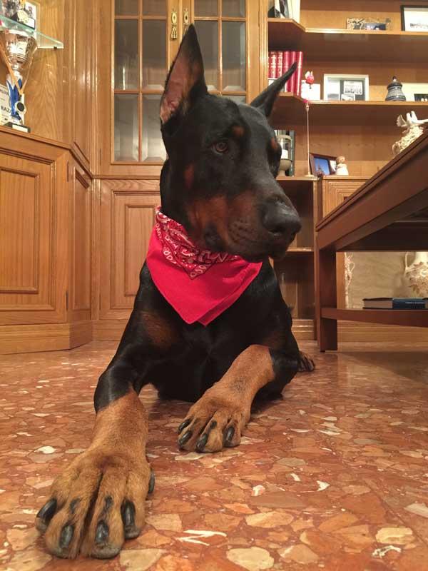 bandana roja perro