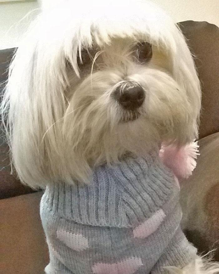 jersey lana perro