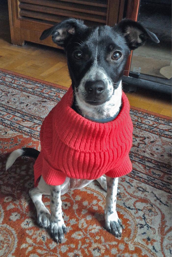 jersey lana rojo perro