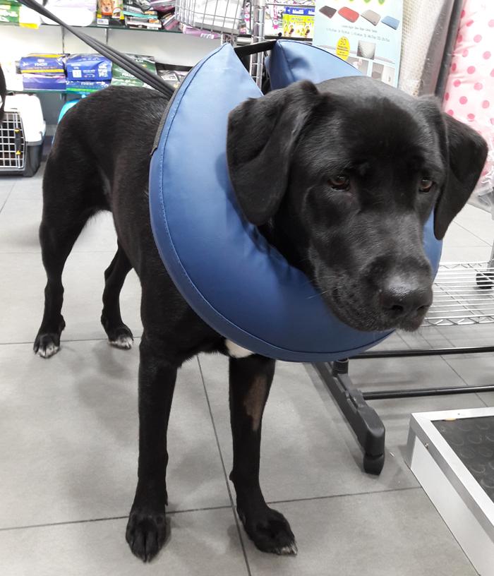 Collar Isabelino Inflable Para Perro