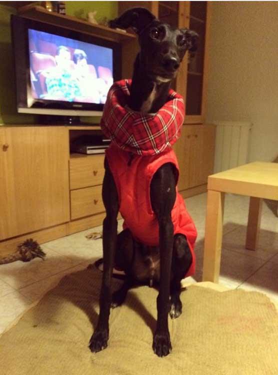 abrigo acolchado rojo para galgo
