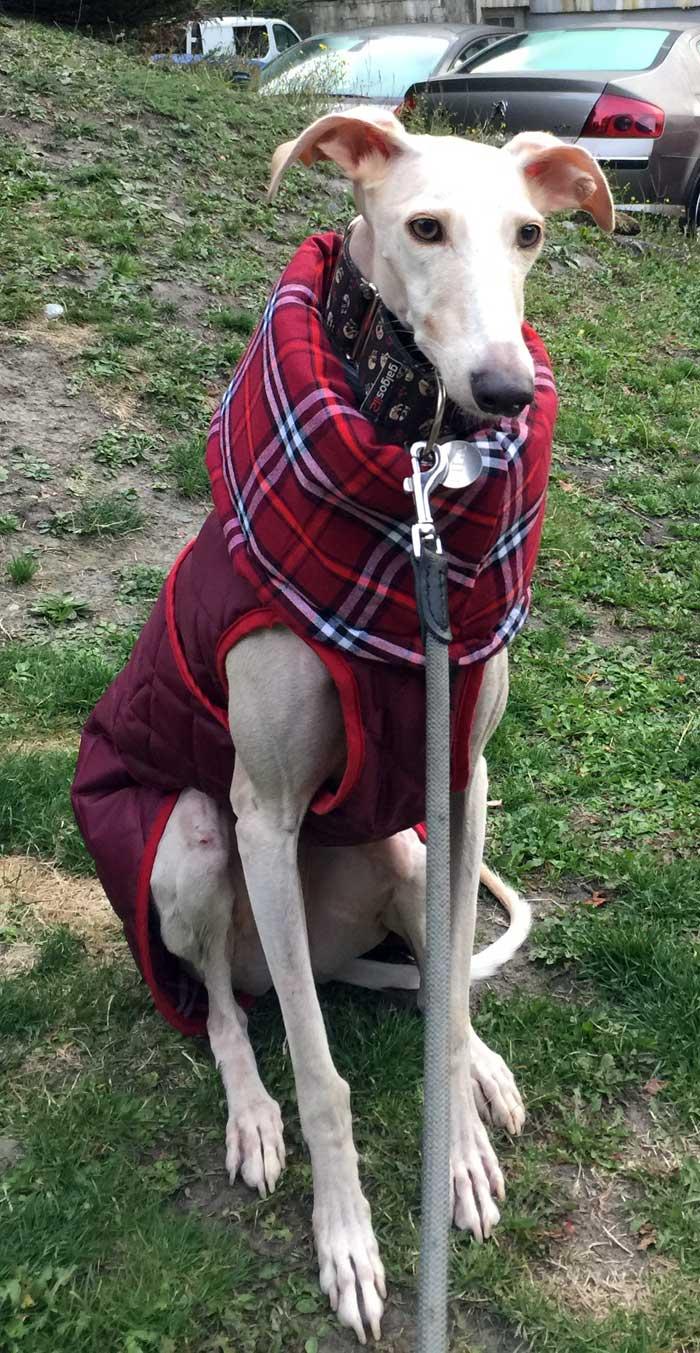 abrigo impermeable para galgo