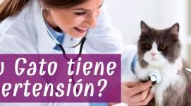 ¿Qué es la hipertensión en gatos?
