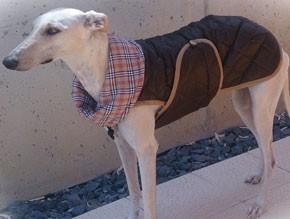 galgo-blanco-con-abrigo