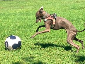 galgo-jugando-con-pelota